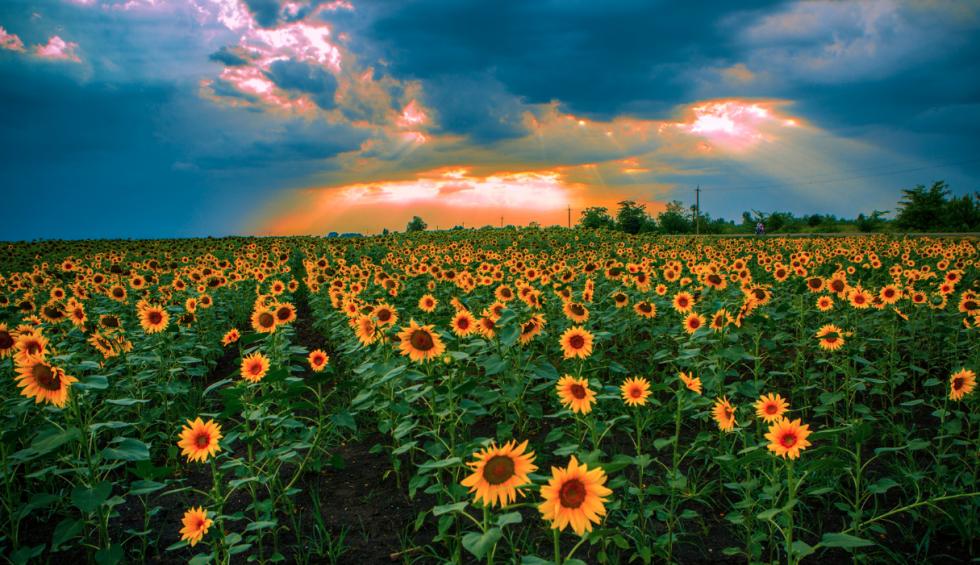Sunflowers - Photo Credit: Pretti