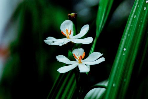 Melati Flower - Photo Credit: Zen Zero Zona
